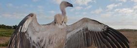 Wilderei, Giftköder, Klimawandel: WWF: So viele Arten gefährdet wie nie
