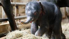 Nicht nur, dass ihn die Pfleger am Neujahrsmorgen völlig unerwartet im Berliner Tierpark Friedrichsfelde entdecken.