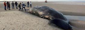 Tiere verirren sich bei Atlantik-Reise: Elf Wale verenden an Nordseeküste