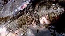 Vietnam trauert um heiliges Tier: Verehrte Riesenschildkröte ist tot