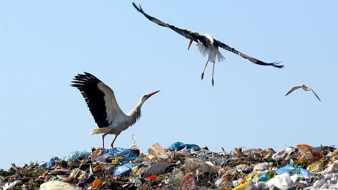Störche sparen auf Müllkippen viel Energie.