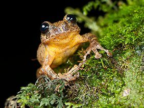 Der Frosch stellt sogar nicht nur eine eigene Art, sondern eine eigene Gattung dar.