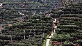Teeanbau in China.