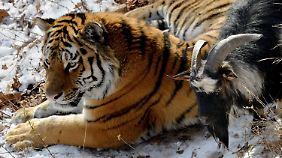 Timur und Amur sind jetzt keine Freunde mehr, weil der Ziegenbock zu zickig war.