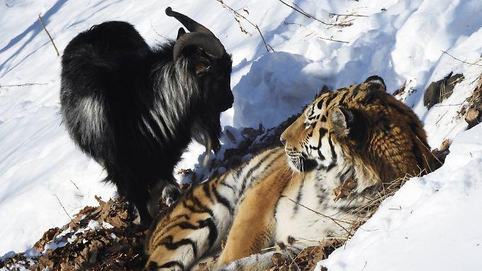 Da war die Welt noch in Ordnung: Timur (l.) und Amur.
