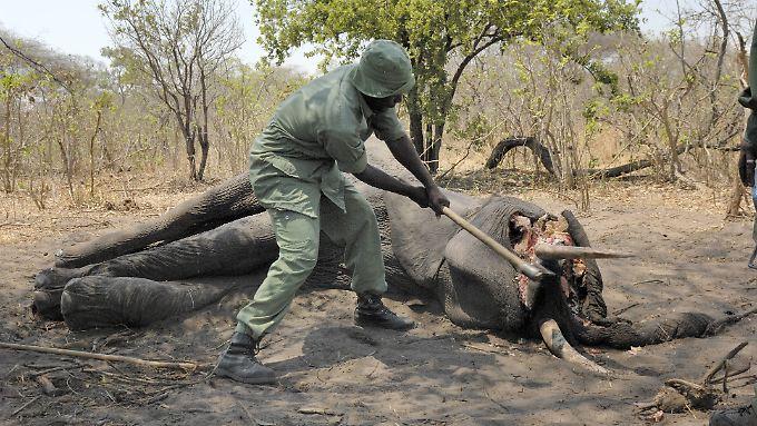 Ranger in Tansania mit getötetem Elefanten. (Archivbild)