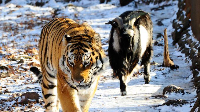 Tiger Amur und Ziegenbock Timur sind ein ungleiches Paar.