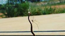 Wie hat sie das geschafft?: Kleine Spinne besiegt Giftschlange