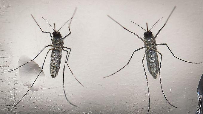 Das von der Mücke Aedes aegypt übertragene Virus grassiert derzeit in Süd- und Mittelamerika.
