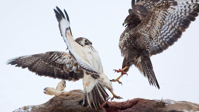 Greifvögel im Zweikampf: Wer solche Bilder aufnehmen will, muss vorbereitet sein.