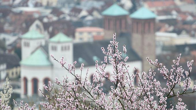 In den Weinbergen über Bensheim im hessischen Kreis Bergstraße hat die Mendelblüte begonnen - im Hintergrund ist die Kirche Sankt Georg zu sehen.