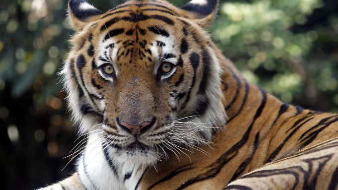 Die Zahl der wild lebenden Tiger geht wieder nach oben und steuert auf die 4000 zu.