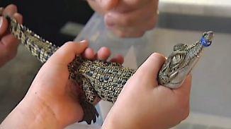 Liebe auf Zeit: Australier halten sich Krokodil als Haustier