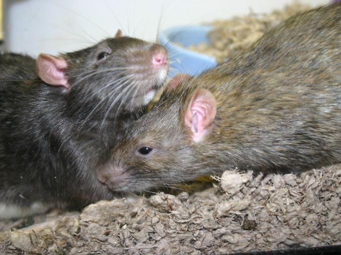 Wenn Ratten mal nicht fressen, haben sie übrigens Sex - etwa 20 Mal am Tag.