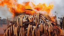 Noch nie wurden so viele Stoßzähne eingeäschert wie in Kenia.