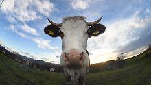Wie funktioniert der Methanausstoß?: So rülpsen Kühe weniger