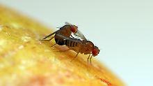 Rekordhalter im Tierreich: Fruchtfliegen entwickeln Riesenspermien