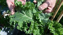 Sorte und Zubereitung beachten: Grünkohl schlägt Brokkoli