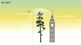 So groß wie Big Ben: der jetzt entdeckte Merantibaum.