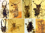 Bernsteineinschlüsse aus Kreidezeit: Forscher enträtseln bizarre Insekten-Kleidung