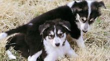 """""""Fiffi"""" für viele Dollars klonen: Südkoreaner machen Haustiere unsterblich"""