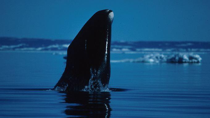 Besonders widerstandsfähig gegen Krebs: Mehr als 200 Jahre lang kann ein Grönlandwal in den Weltmeeren unterwegs sein.