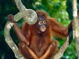 Clevere Vorbereitung: Auch Tiere können für die Zukunft planen