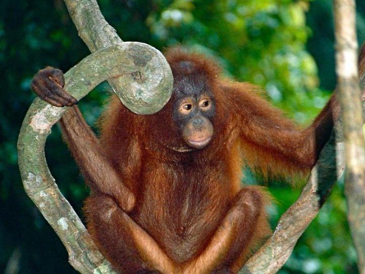Orang-Utan-Männchen teilen Artgenossen mit, in welche Richtung sie ziehen wollen.
