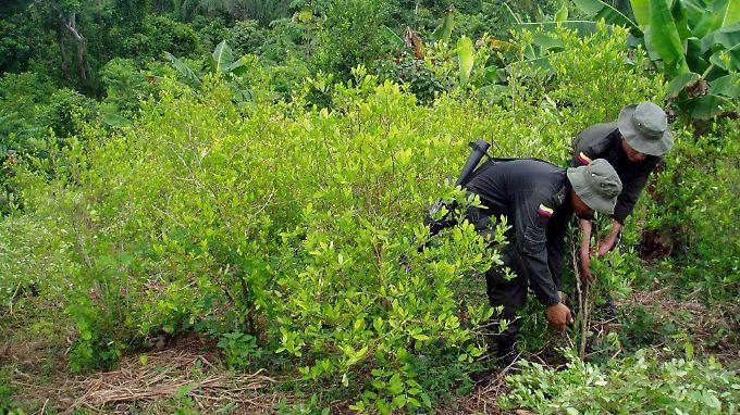 Der Rohstoff Koka wächst in Kolumbien auf insgesamt 96.000 Hektar.
