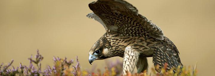 Ins Großstadtleben gestürzt: Falken - die schnellen Jäger