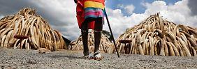 Wertvolles Elfenbein: Wie Afrika gegen Wilderer kämpft