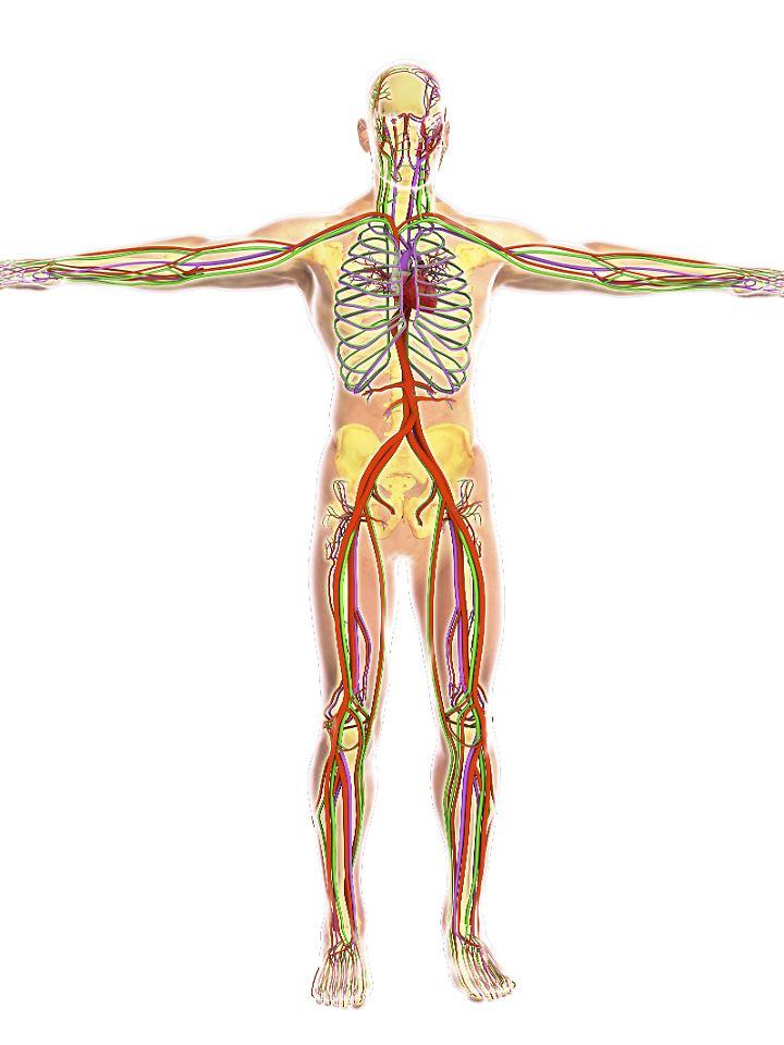 Die Zirkulation des Blutes im menschlichen Körper.