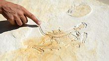 Ältestes Archaeopteryx-Fossil: Spektakulärer Fund kommt in Ausstellung