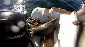 Kaum zu glauben, aber wahr: Hungrige Orcas hetzen Robbe auf Touristenboot