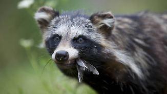 Ruf nach Regulierungsmaßnahmen: Waschbären werden in Hessen zur Plage