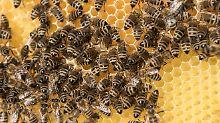 Fataler Kampf gegen Zika-Virus: Insektizid tötet Millionen Bienen auf einmal