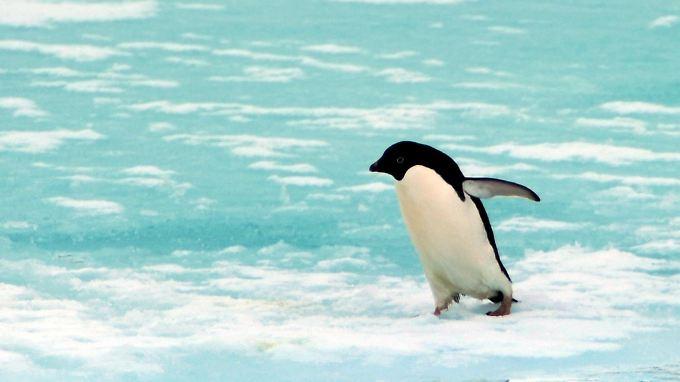 Den Pinguin in der Antarktis freut es.