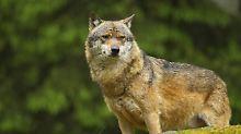 Nachweise für 46 Rudel: Wölfe breiten sich in Deutschland aus