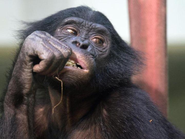 Wissenschaftler fanden heraus: Einige Menschenaffen können Irrtümer anderer doch vorhersehen.