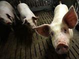 """Vorgaben """"auf niedrigstem Niveau"""": Initiative Tierwohl bröckelt weiter"""