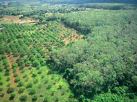 Eine Kautschuk-Plantage in Kambodscha, das Regime verkaufte dafür das Land der Ureinwohner.