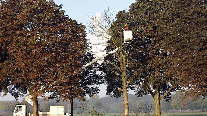 Mit Pseudomonas syringae infizierte Bäume müssen gefällt werden.