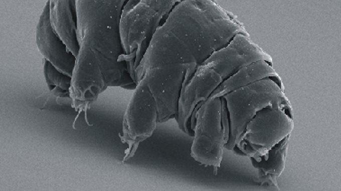 Bärtierchen sind kaum einen Millimeter groß und wahre Überlebenskünstler. Über ihr Paarungsverhalten war bislang wenig bekannt.
