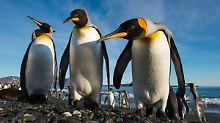 Geschrumpfter Bestand in Afrika: Forscher rätseln über Königspinguin-Kolonie