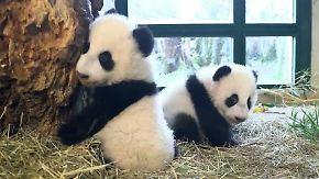 Kuscheliger Nachwuchs in Wien: Panda-Zwillinge entwickeln sich prächtig