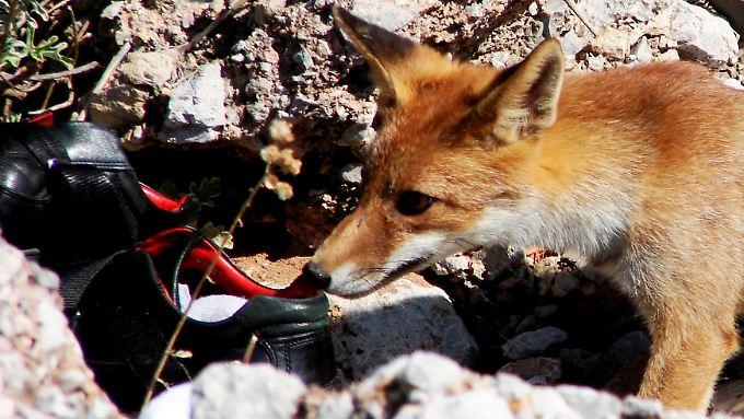 Ganz offen zeigt der Fuchs seine Vorliebe.