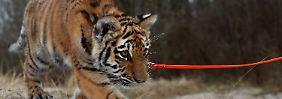 Staunen an der Ostseeküste: Pflegefamilie zieht Tiger auf