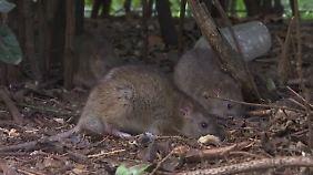 Invasion der klugen Nager: Paris und Marseille leiden unter Rattenplage