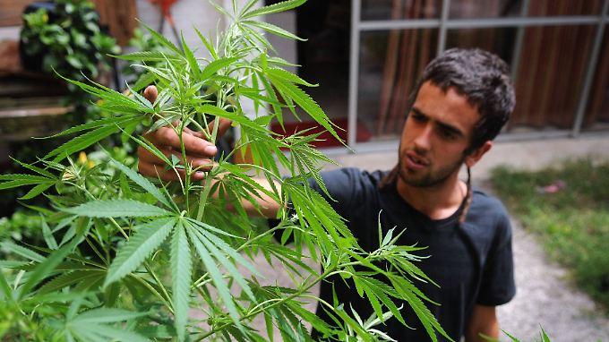 Ein junger Uruguayo überprüft das Wachstum einer seiner Hanfpflanzen - Eduardo ist es allerdings nicht.