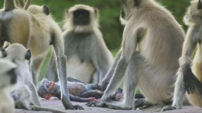 Spione in der Wildnis: Languren trauern um totes Fake-Affenbaby